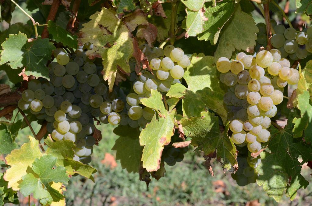sauvignon_blanc_stefano_lubiana_wines