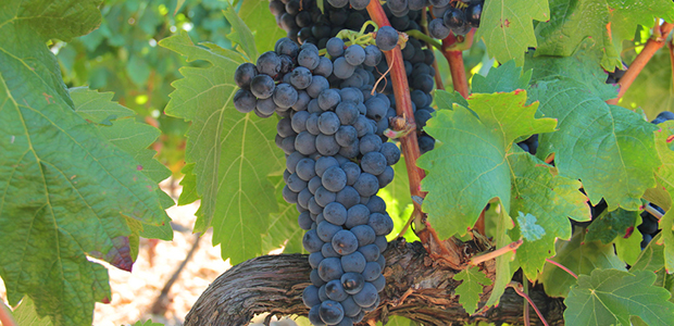 tempranillo_robert_mcintosh