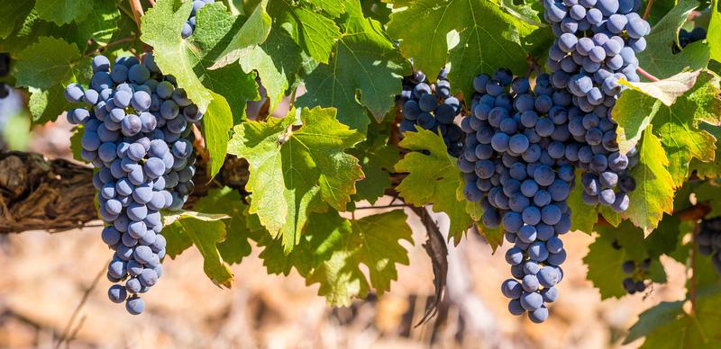 Pinotage Wein Traube